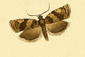 <i>Choristoneura diversana</i> Species of moth
