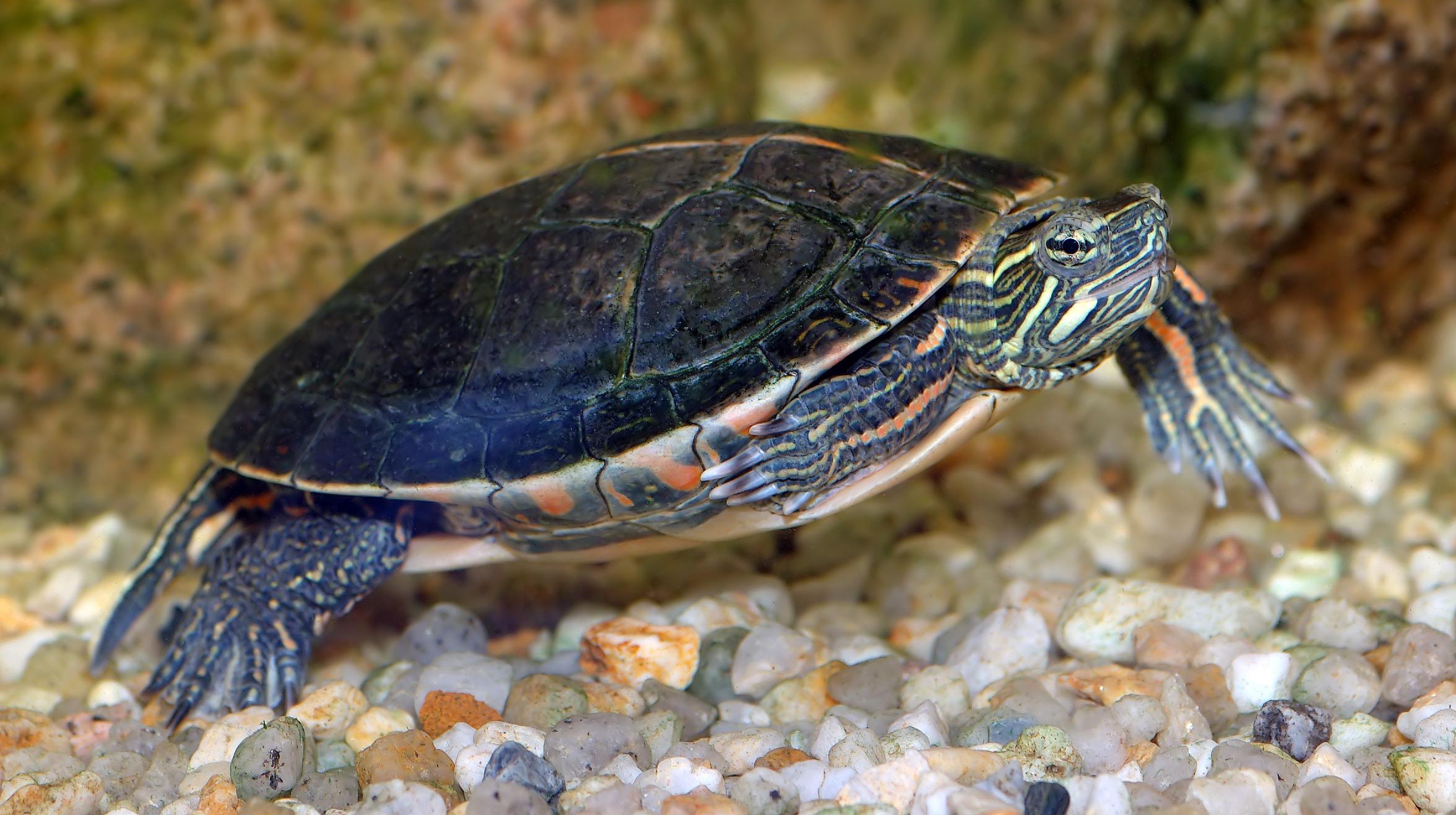 Warum einige Schildkröten durch die Kloake atmen können