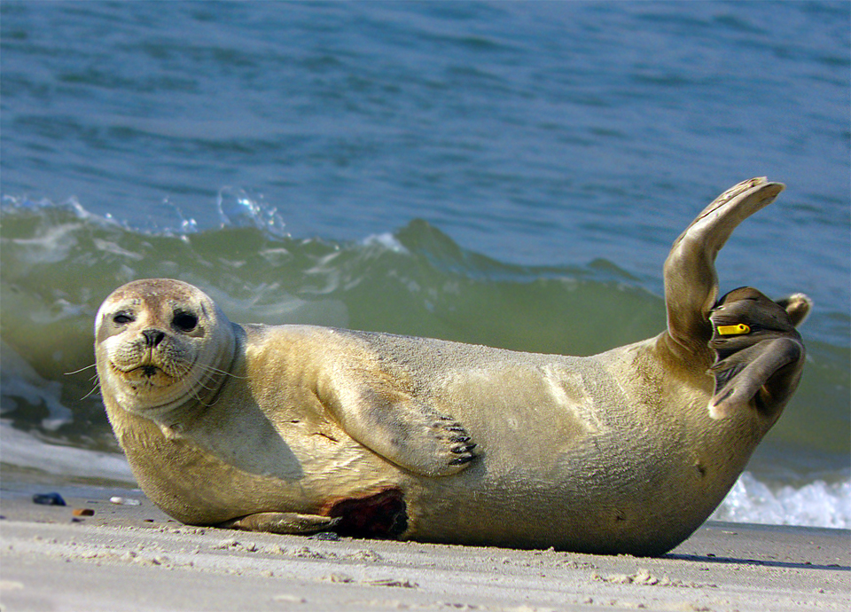 File:Common Seal Phoca vitulina 1.jpg - Wikimedia Commons