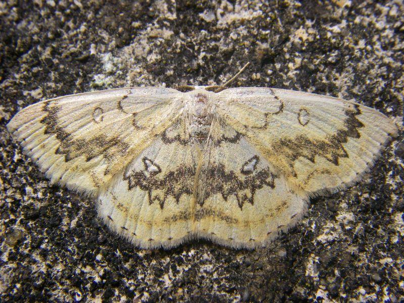 Cyclophora annularia (Geometridae) (Mocha) - (imago), Chevregny, France
