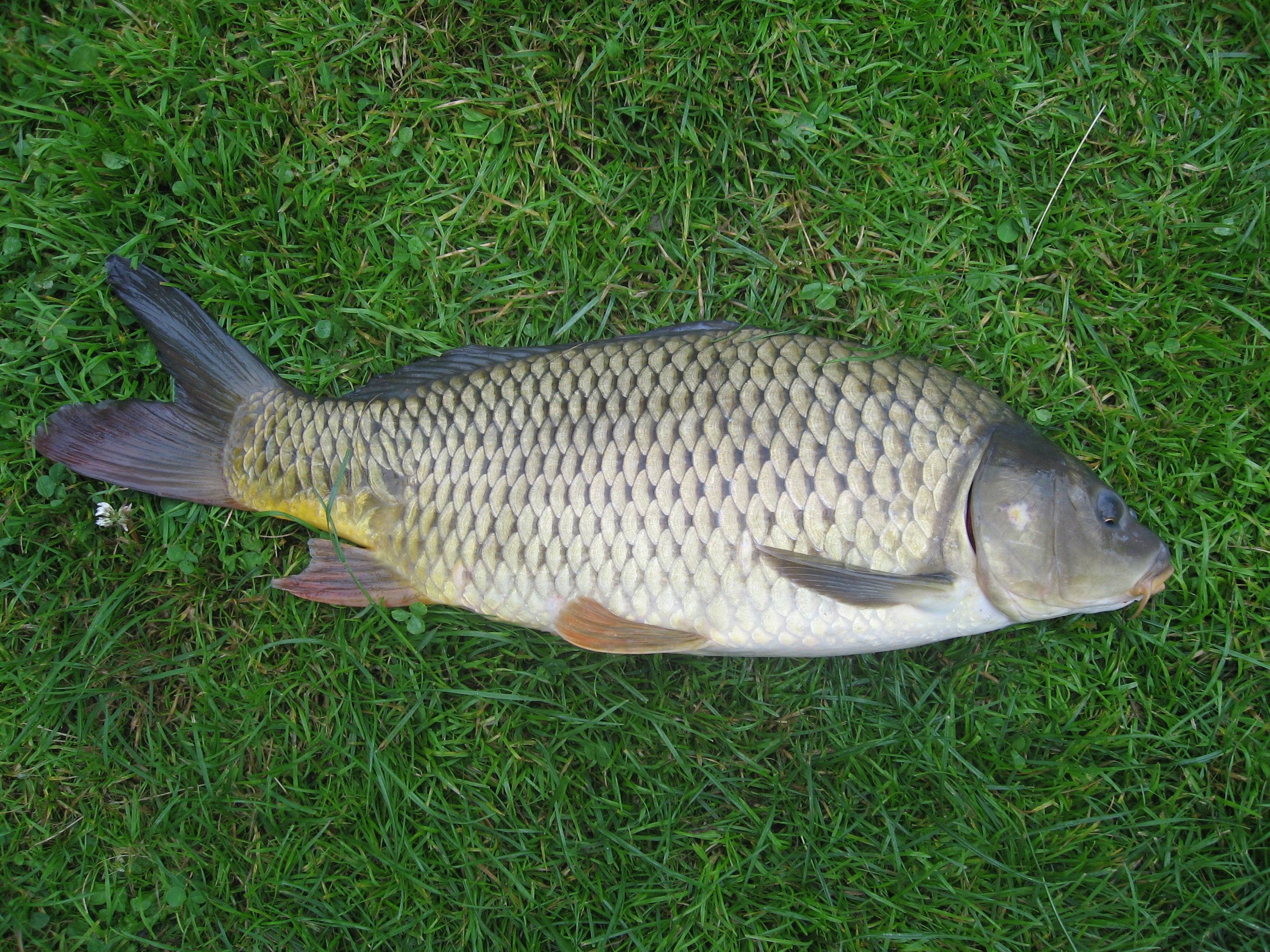 Carp fish, picture by Dezidor