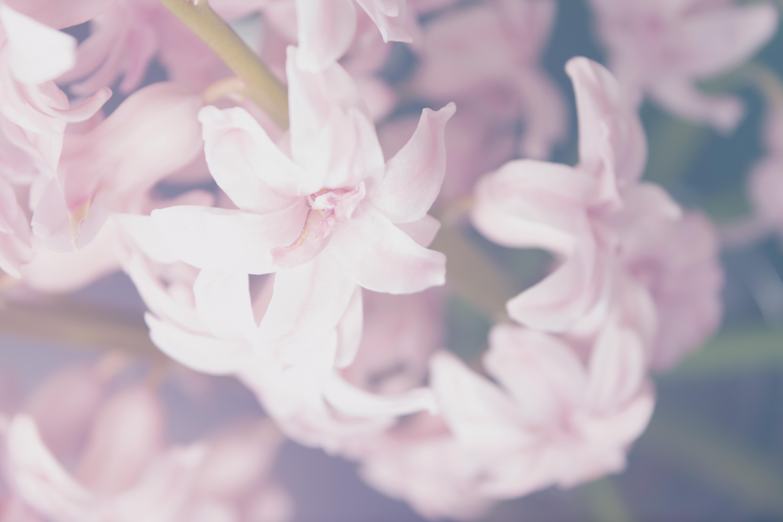 Filedelicate Pink Flowers In Close Up Unsplashg Wikimedia
