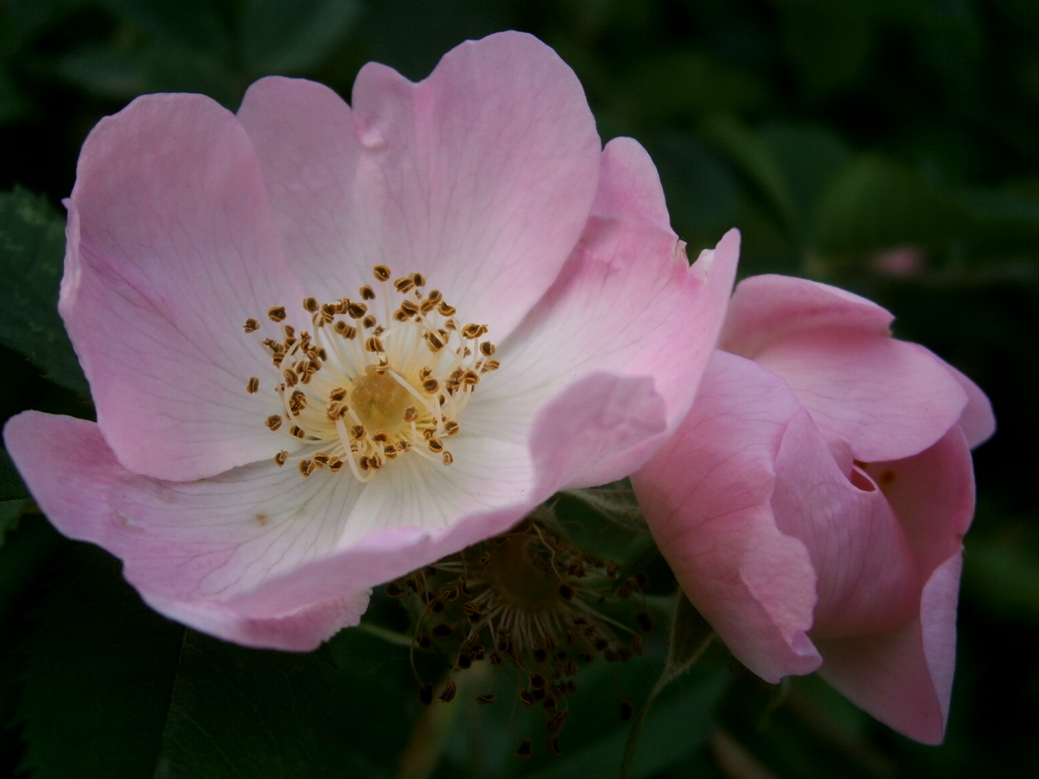 Close-up shot of pale pink pavement roses (dog roses, salt-spray roses) with green leaves as the blurry background. Photo by ThePantherAleo Courtesy of Wiki Media Commons