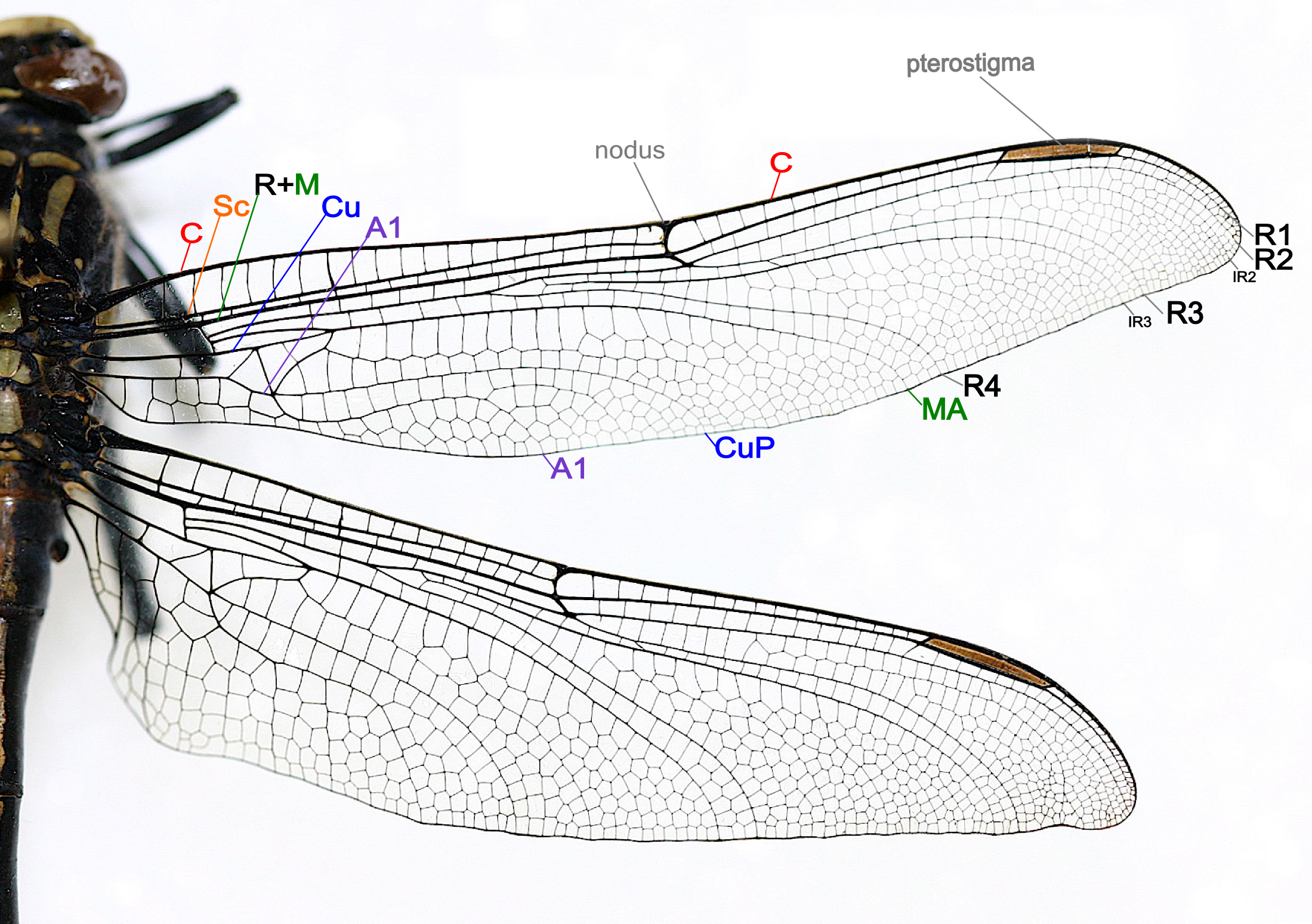 File Dragonfly Wing Structure Png Wikimedia Commons