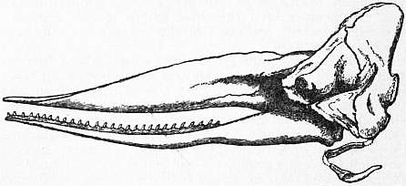 EB1911 Cetacea - Fig. 2.—Skull of Sperm-Whale.jpg