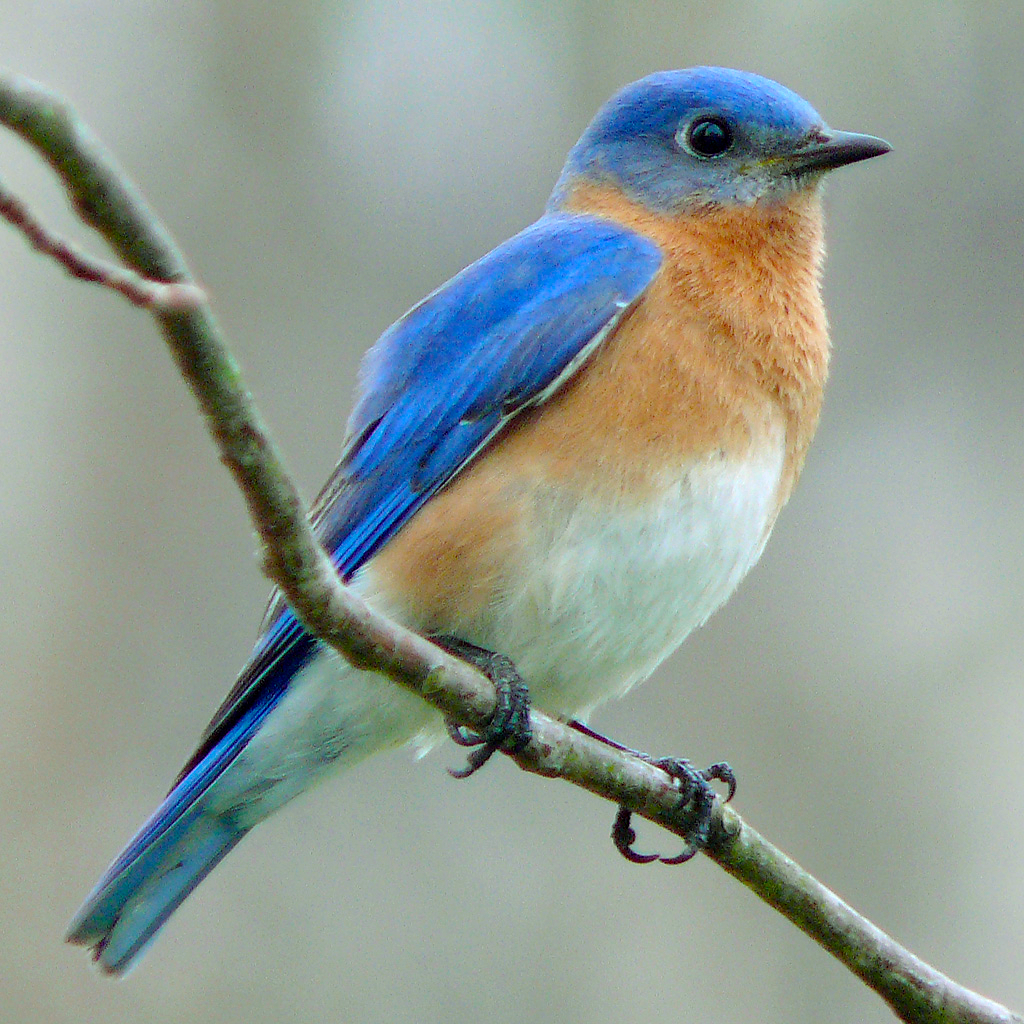 File:Eastern_Bluebird 27527 2 on Coloring Page Bird In Nest