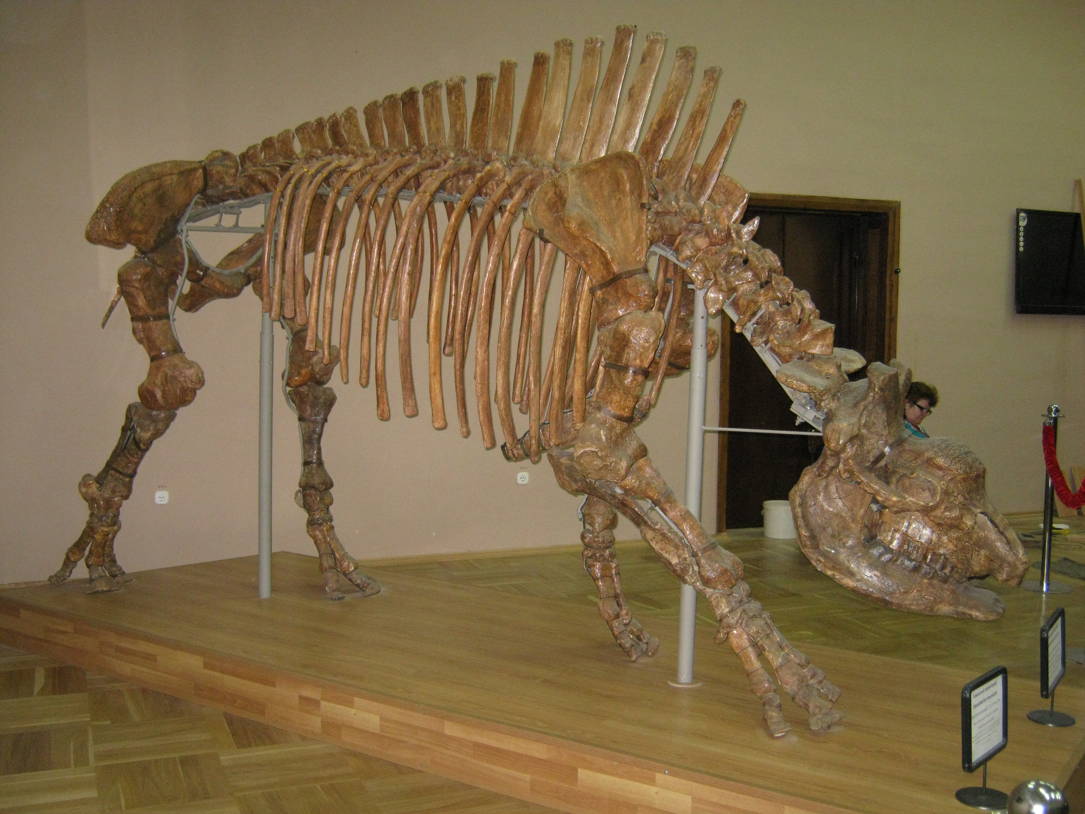 File:Elasmotherium caucasicum.JPG - Wikimedia Commons