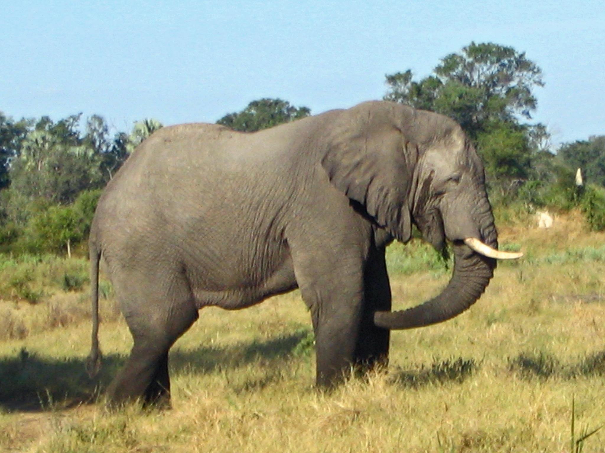Gajah Afrika Wikipedia Bahasa Indonesia Ensiklopedia Bebas