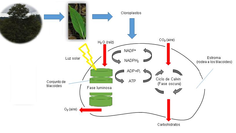File:Esquema fotosíntesis.png - Wikimedia Commons
