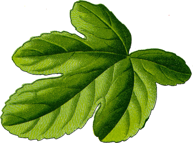 File Fig Leaf Png