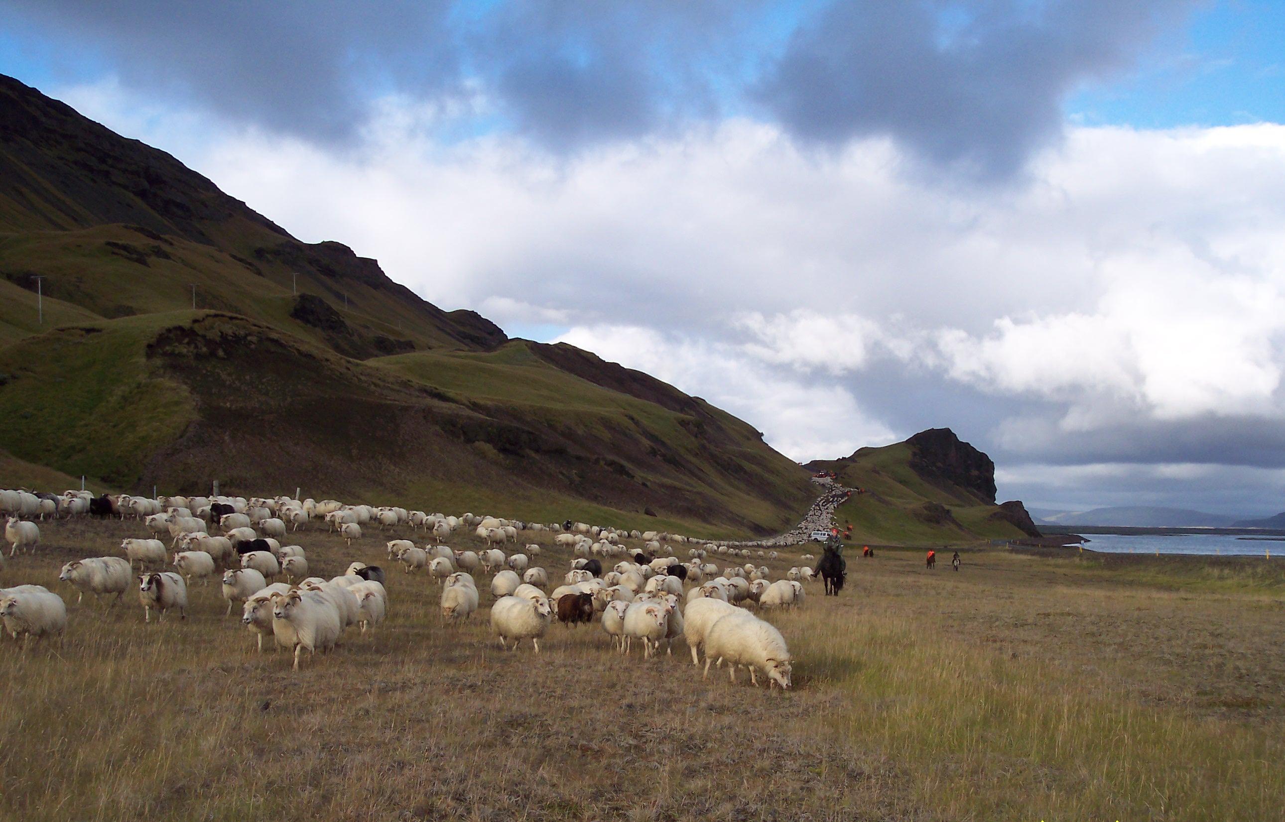 Abtrieb der Schafe im Þjórsádalur nahe der Hekla