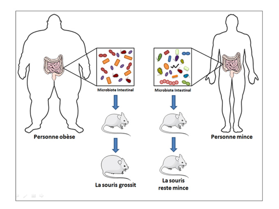 File Gut Microbiota And Obesity Png Wikimedia Commons