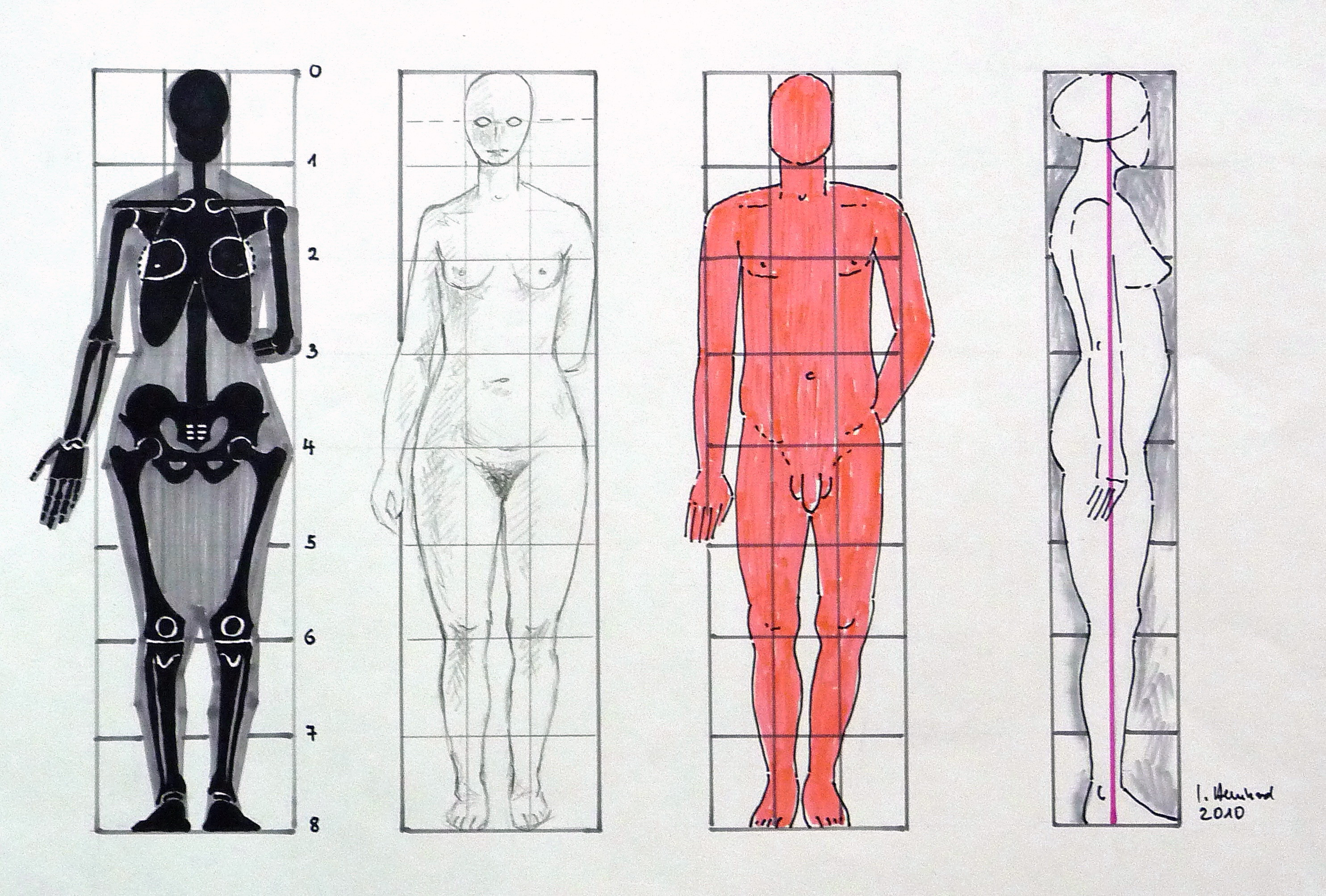 Human Body Vector Free File:human Body Proportions2