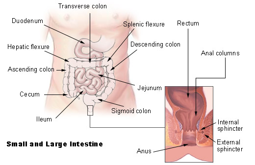 Large Intestinal Tract