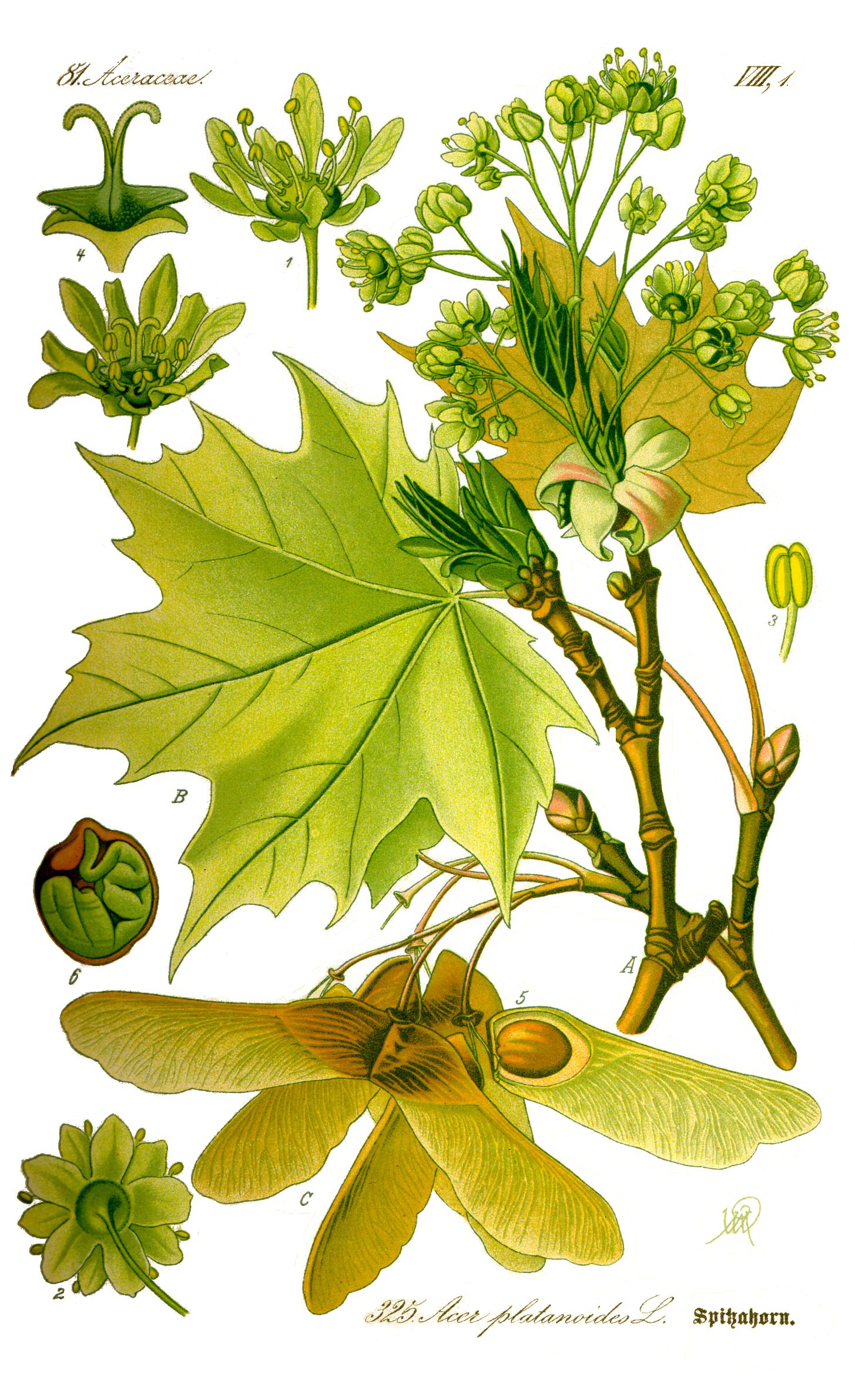 frunze de arțar în tratament comun)