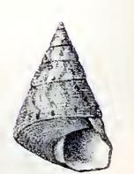 <i>Jujubinus suarezensis</i> species of mollusc