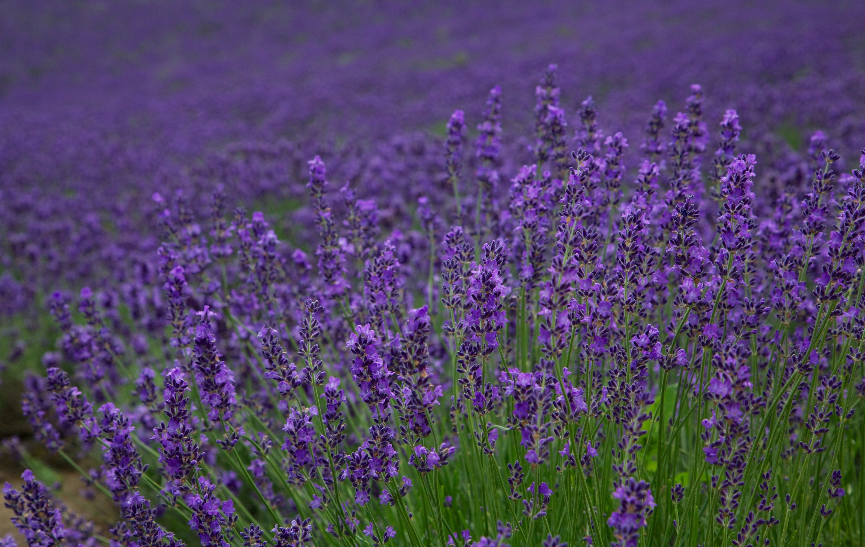 Lavender%2c furano %287662399108%29