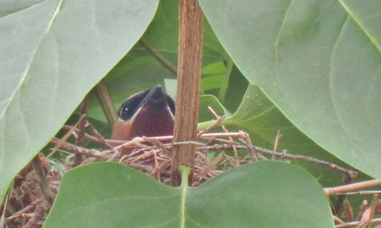 File:Le couple de Jaseur des cèdres se sont fabriqués un nid ...