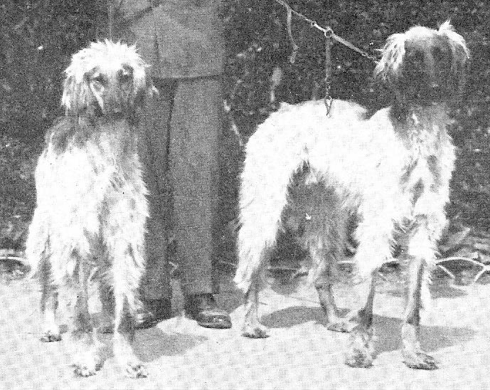 fileleuhusen afghan houndjpg wikimedia commons
