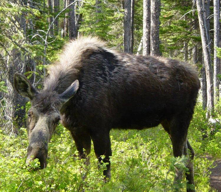 A cow moose