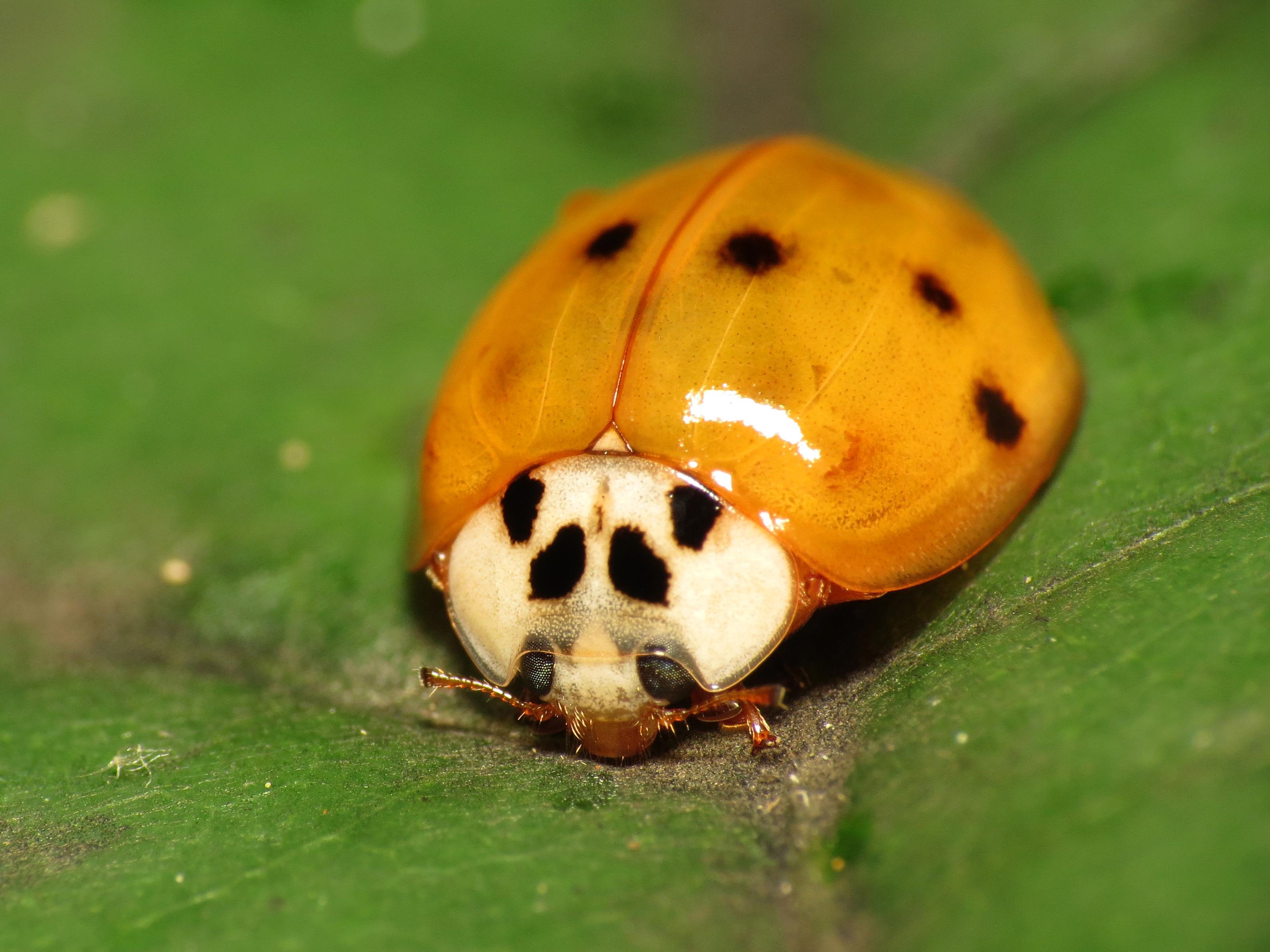 Asian lady beetles wiki