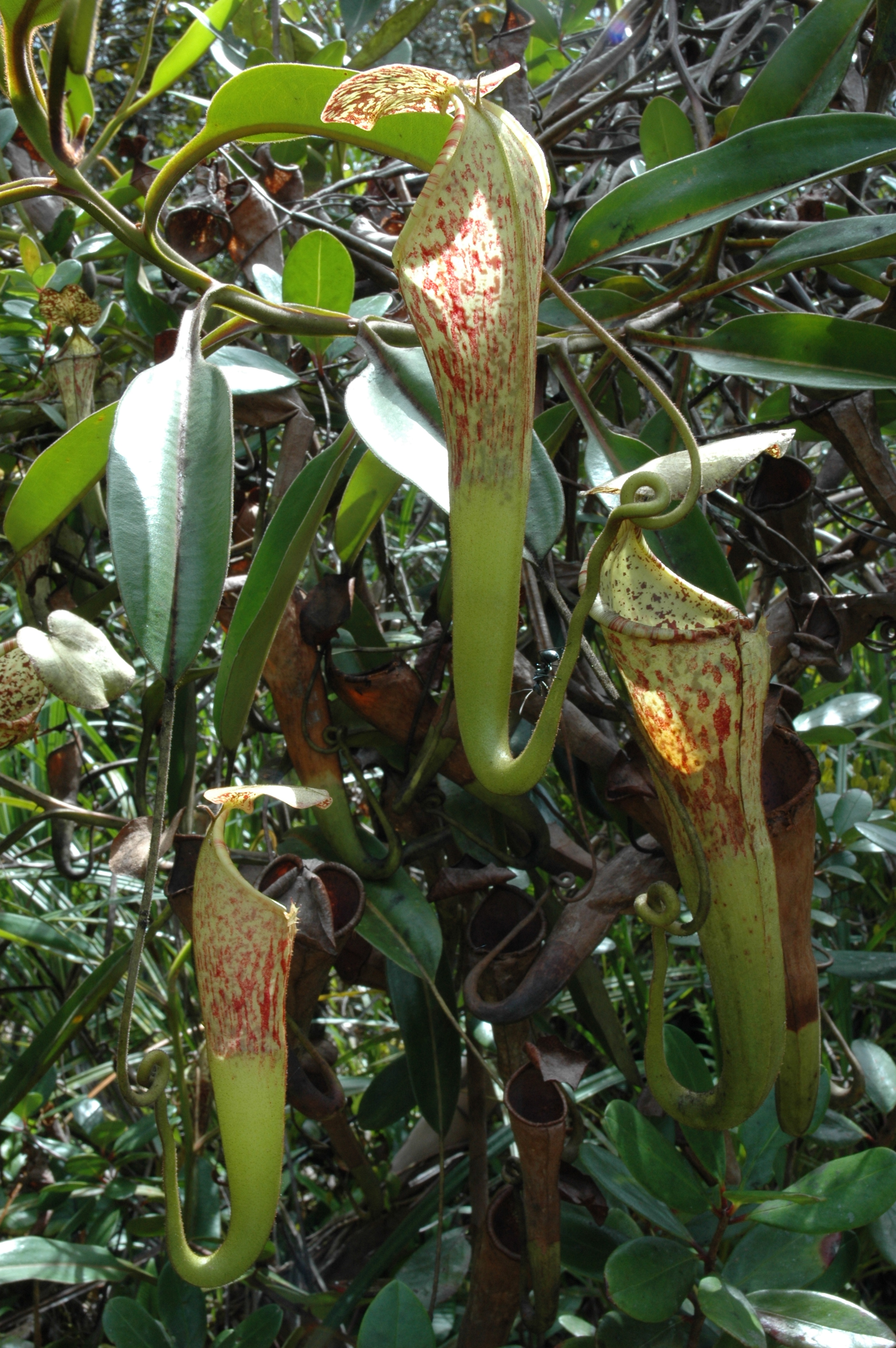 Tropical pitchers, Pitcher plant and Tropical on Pinterest