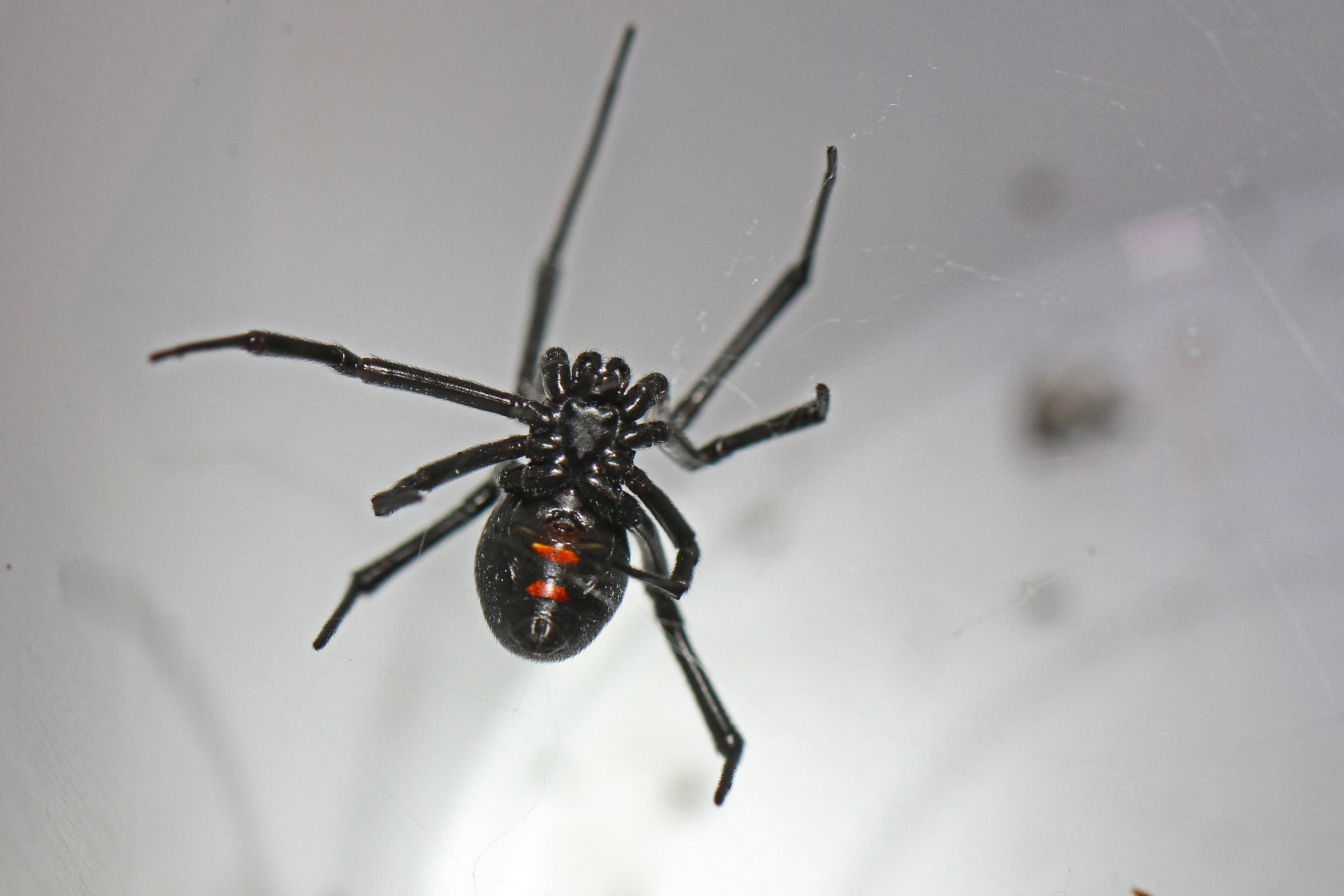are black widow spiders deadly - HD5184×3456