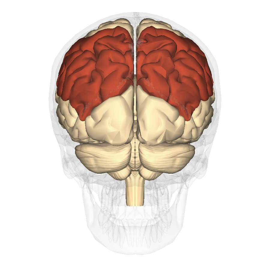 File:Parietal lobe - posterior view.png - Wikimedia Commons