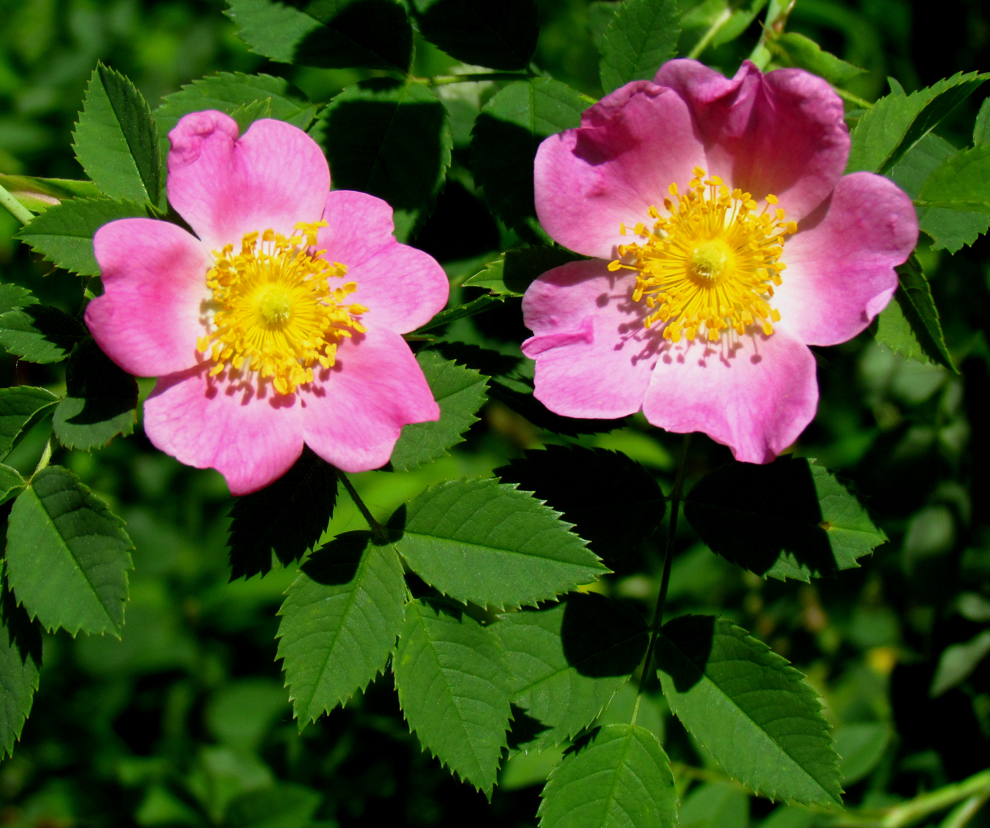 File:Pasture Rose, flowers and leaves.jpg - Wikimedia Commons