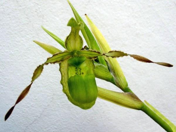Phragmipedium reticulatum image