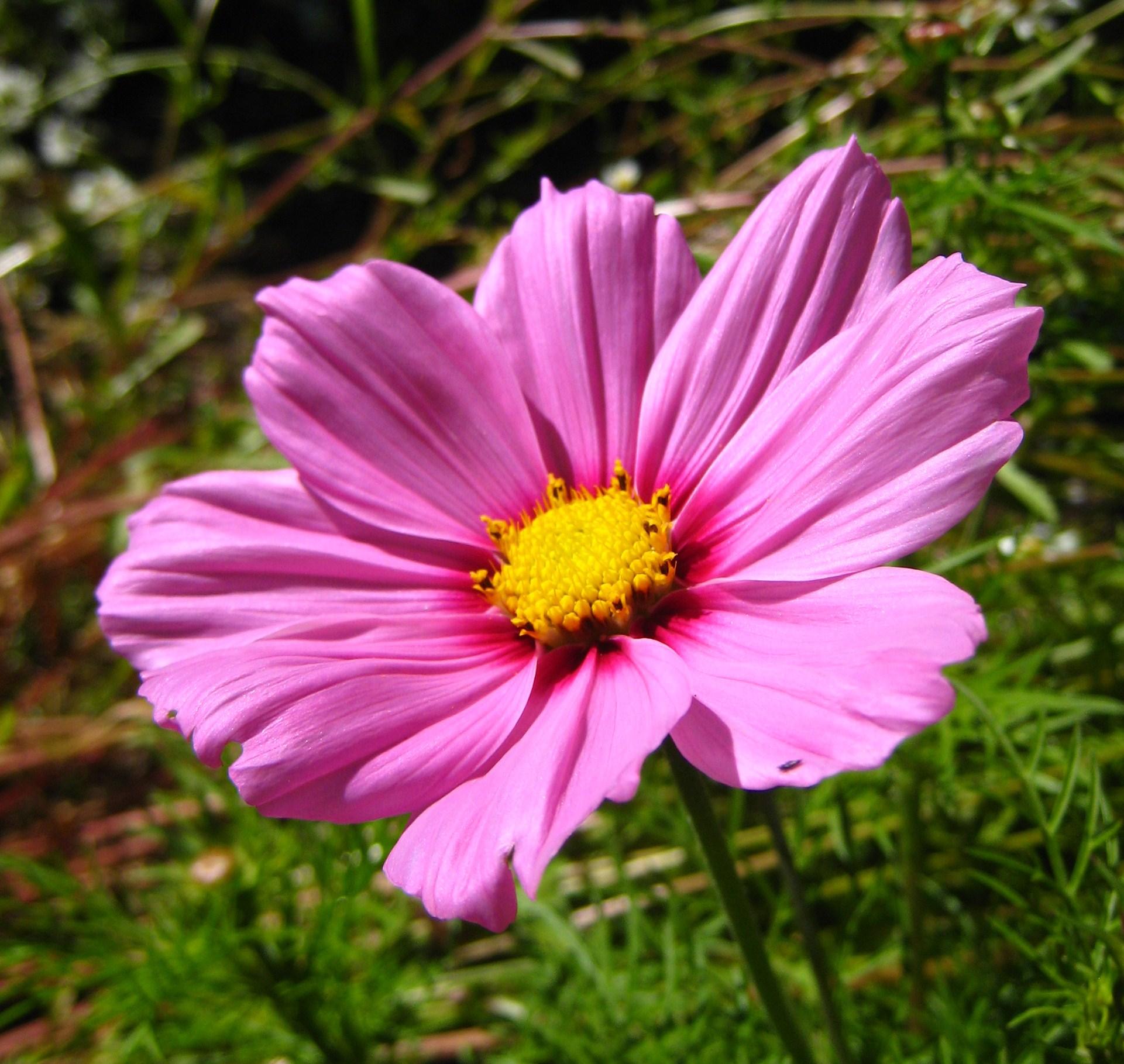 Pink flower background 1377212 - Description Pink Flower 02 Orcas Jpg