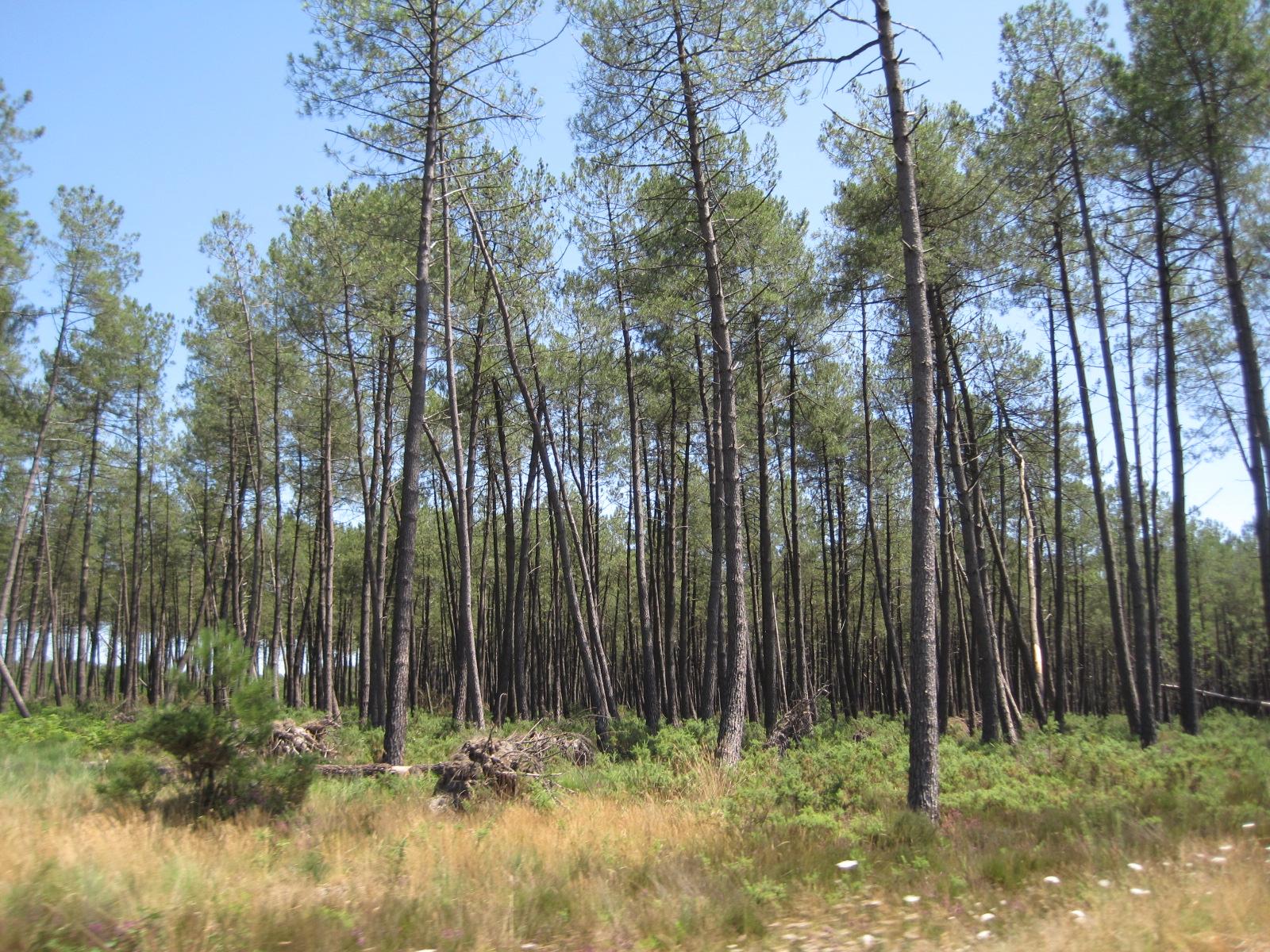 Description pins des landes