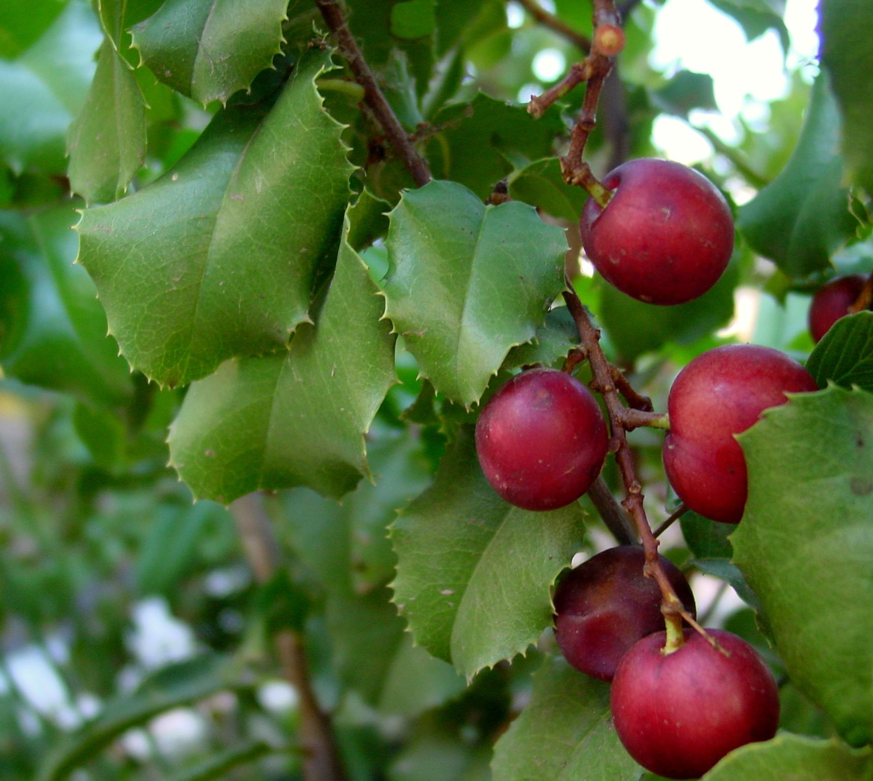 Prunus Ilicifolia Wikipedia