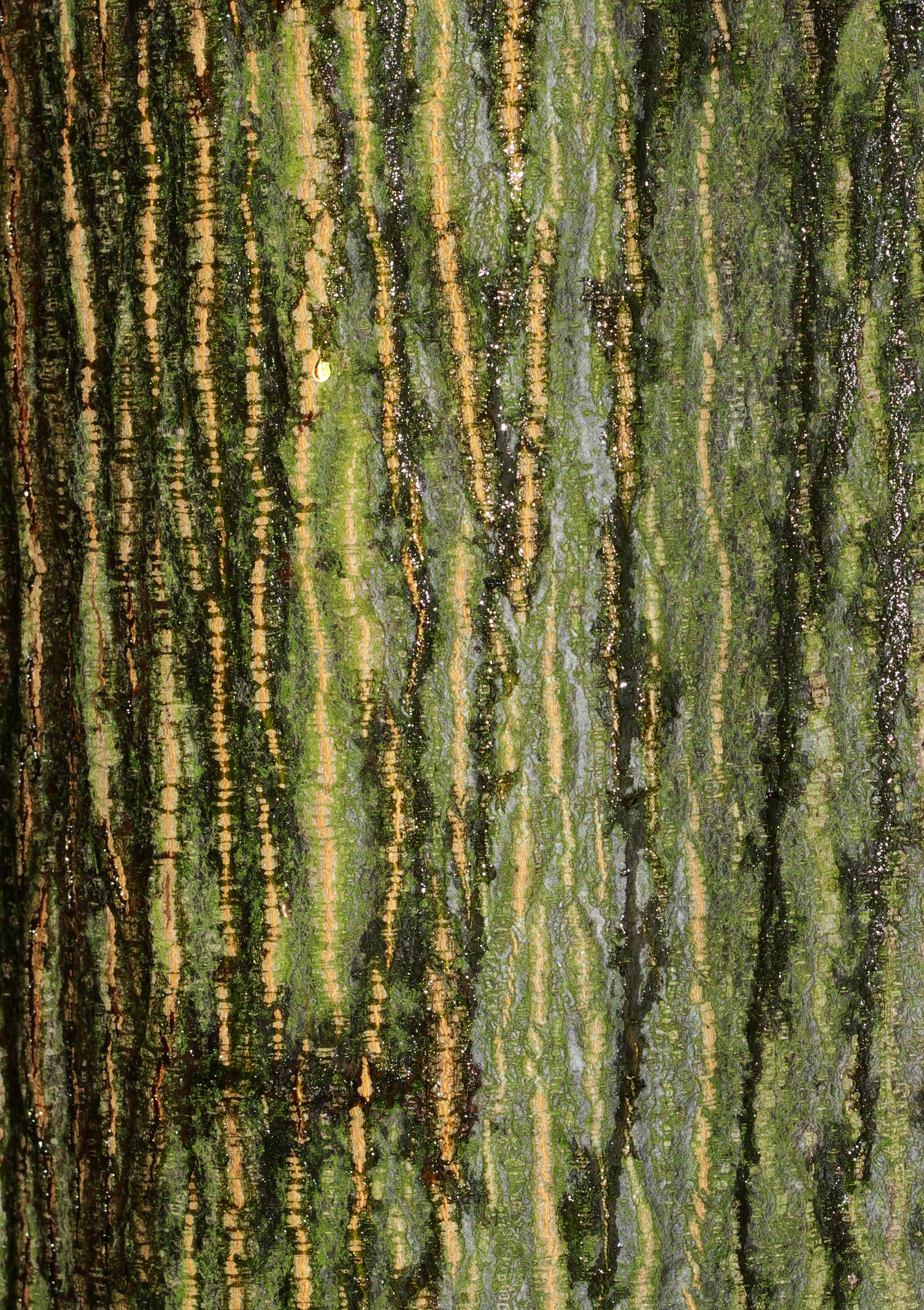 Description Quercus rubra - cortex jpgQuercus Rubra