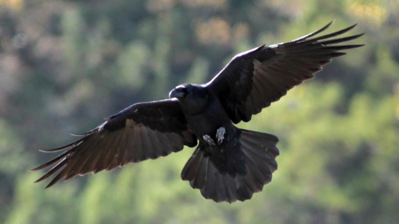 File:Raven (Corvus corax) (2).JPG