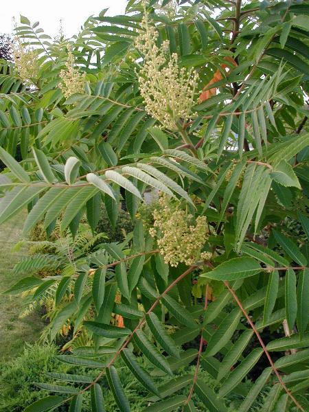 http://upload.wikimedia.org/wikipedia/commons/9/9b/Rhus-typhina-flowers.JPG