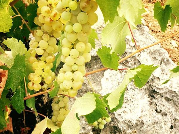 Robola Grape