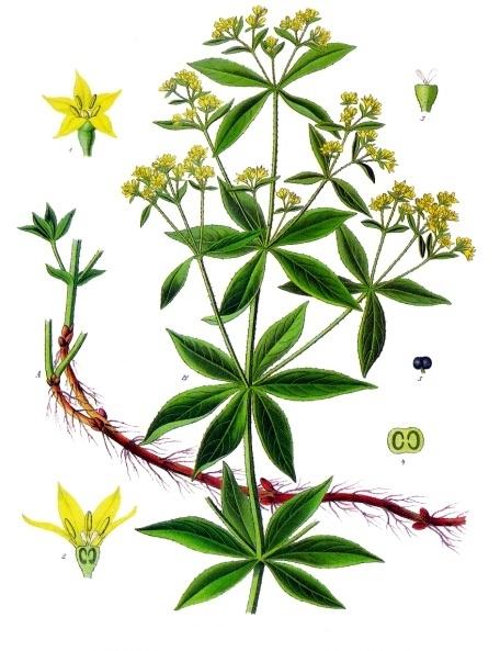 feuilles verticilles de la garance