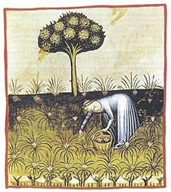 Safran høst i middelalderen fra manustriptet Tacuinum Sanitatis, 15. århundrede