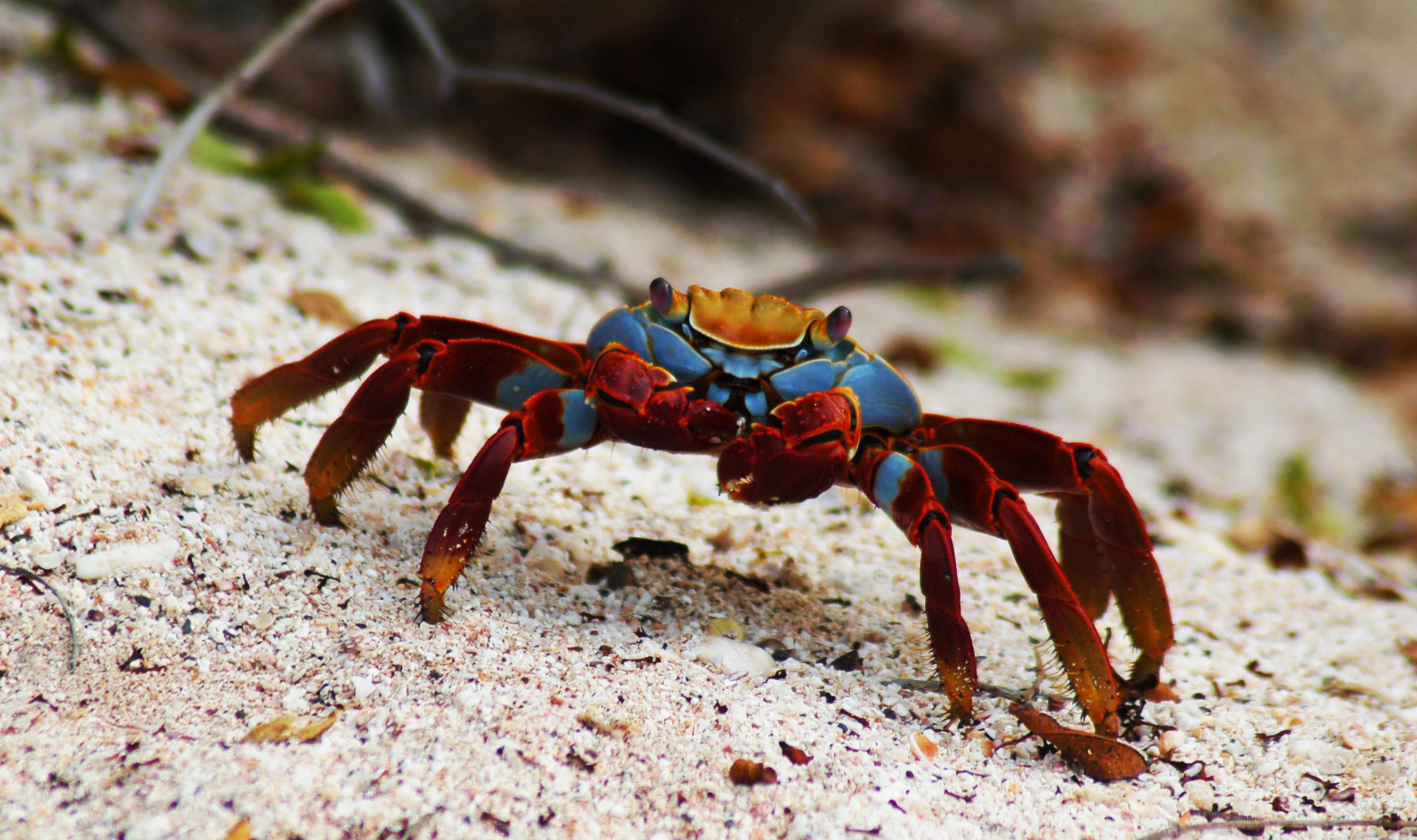Description Sally Lightfoot crab (4202517962).jpg