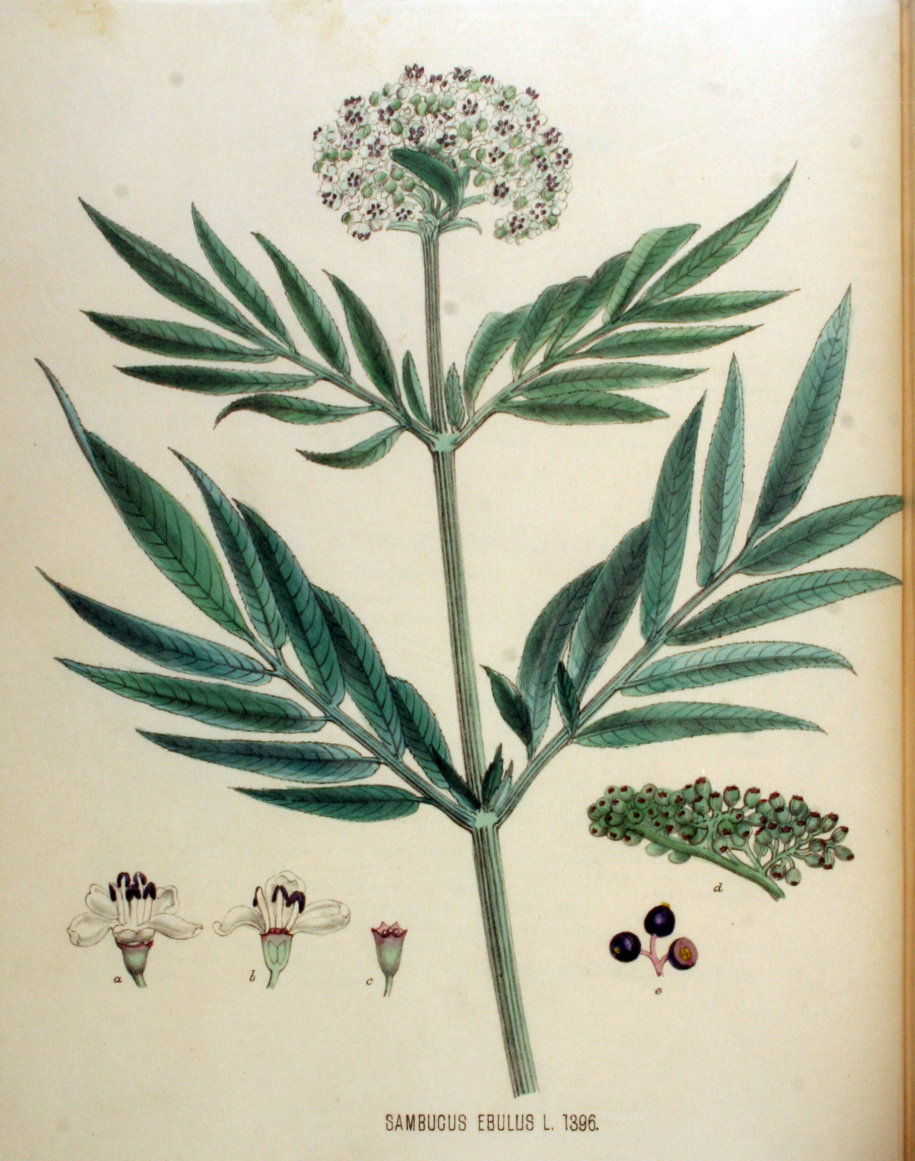 https://upload.wikimedia.org/wikipedia/commons/9/9b/Sambucus_ebulus_%E2%80%94_Flora_Batava_%E2%80%94_Volume_v18.jpg