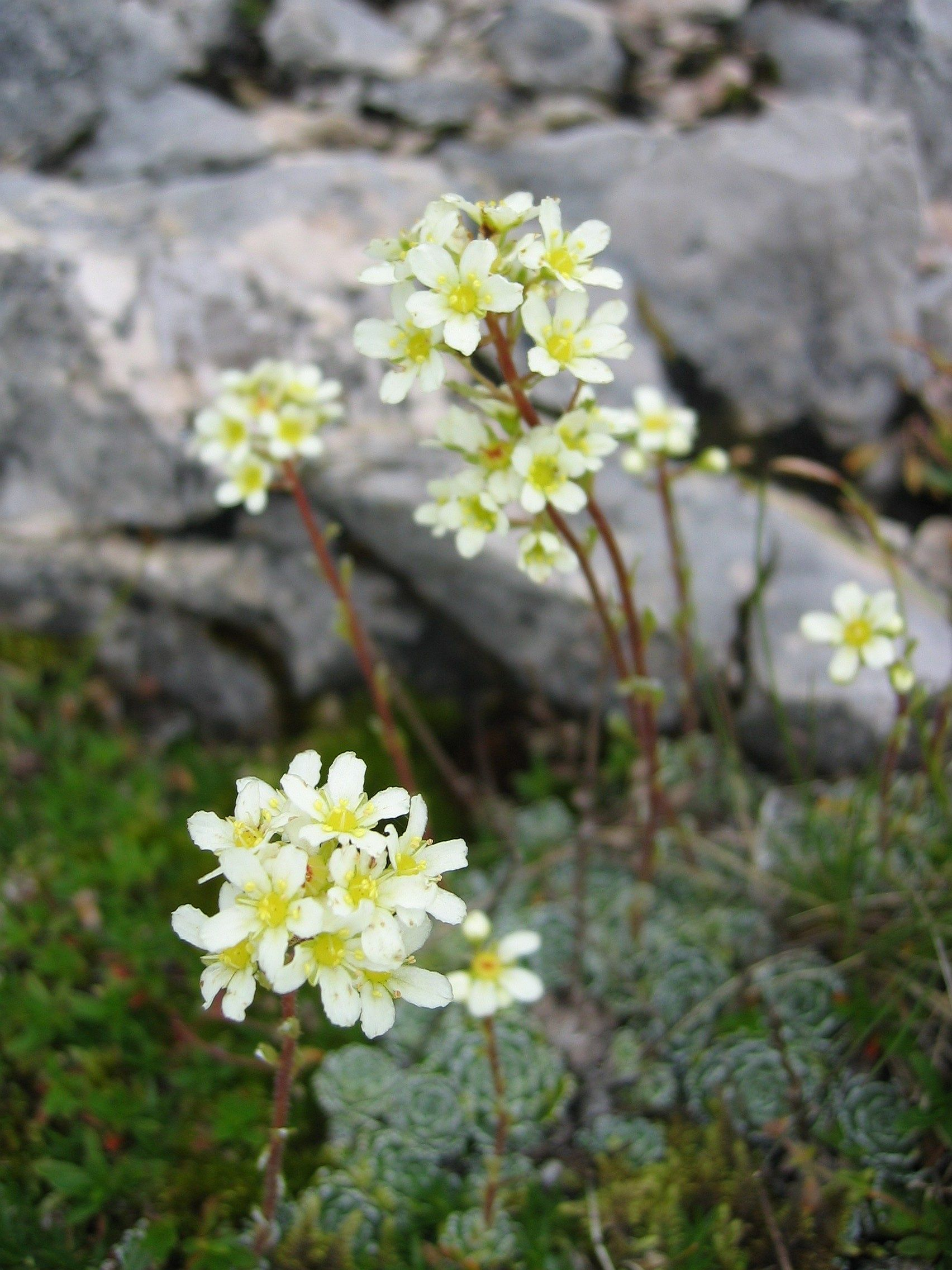 saxifraga paniculata wikipedia. Black Bedroom Furniture Sets. Home Design Ideas