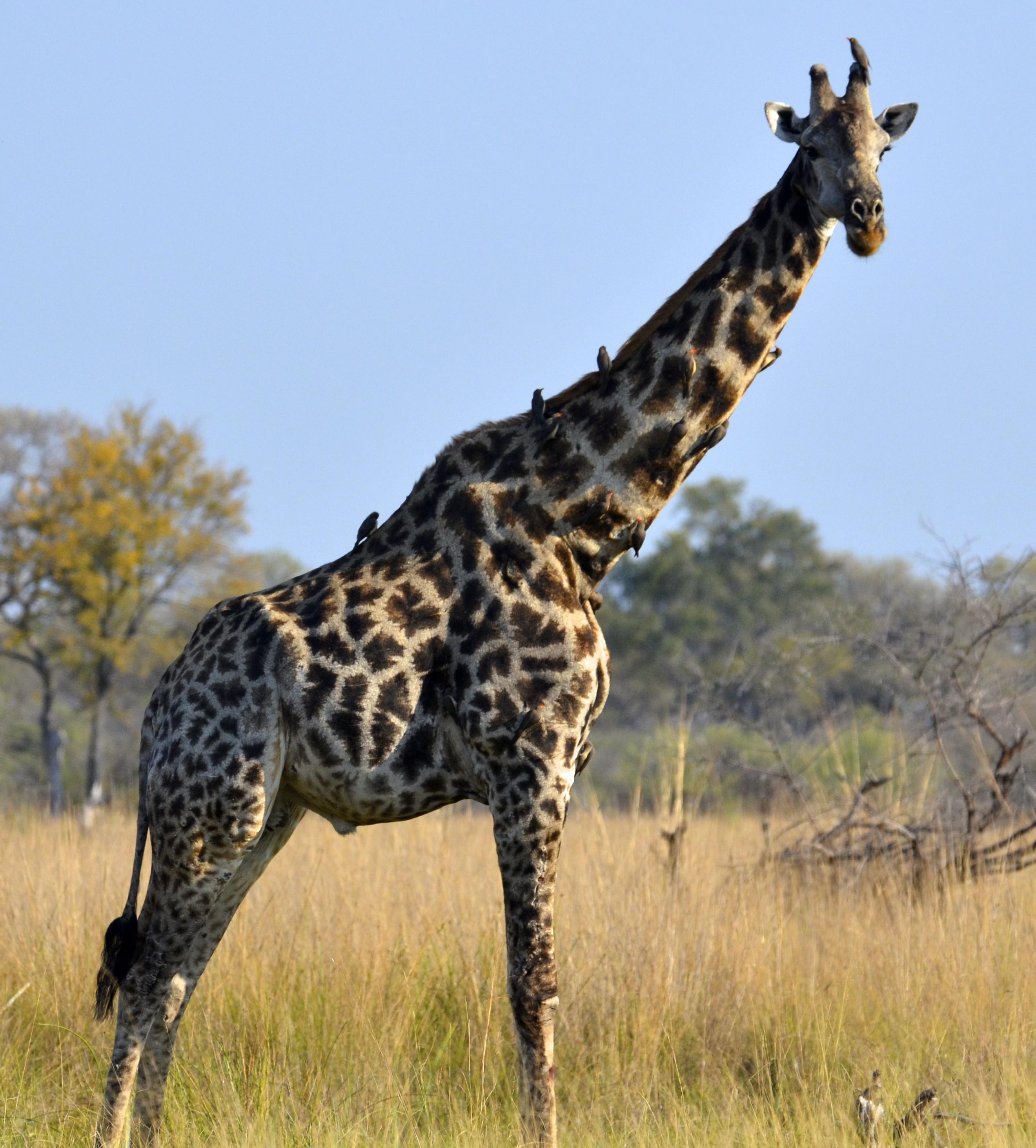 Giraffe A bull South African giraffe