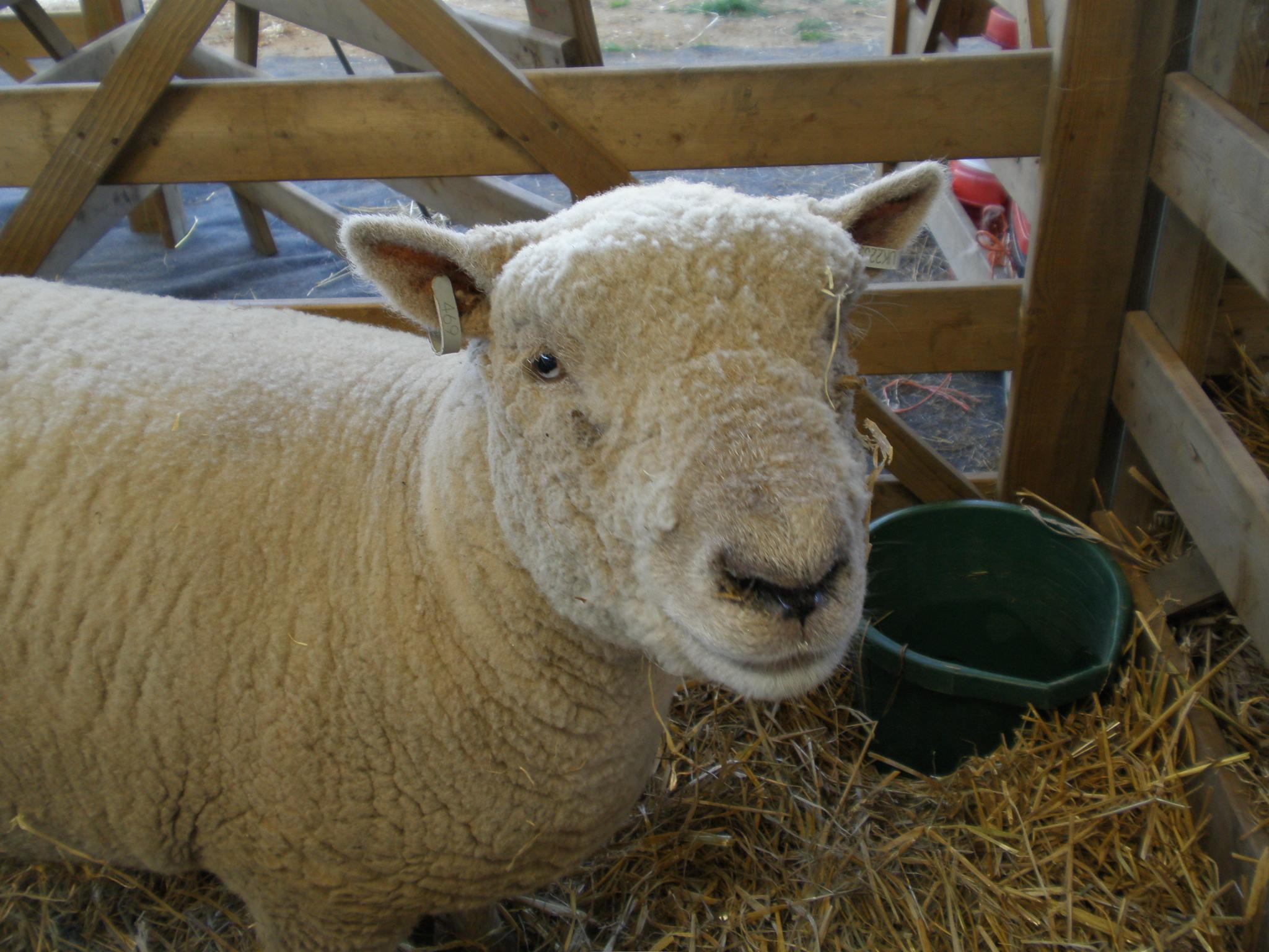 File:Southdown sheep, Suffolk Show.jpg - Wikipedia
