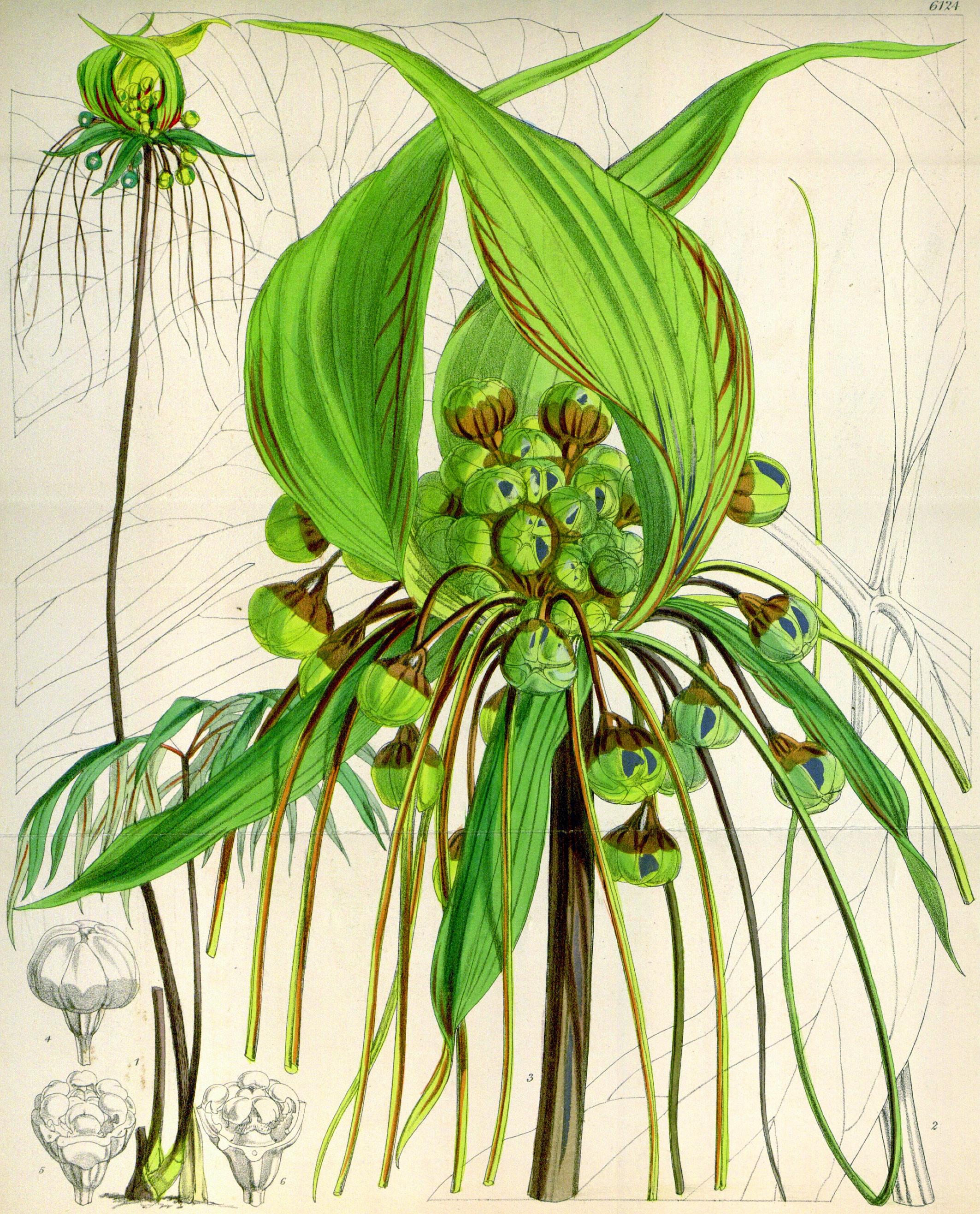 Description Tacca leontopaloides CBM.png