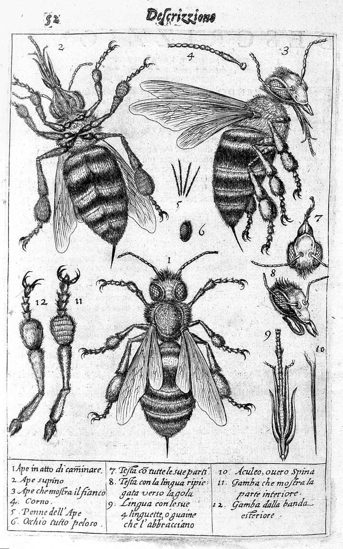 File:The drawings of a bee and its parts. Wellcome L0008282.jpg ...