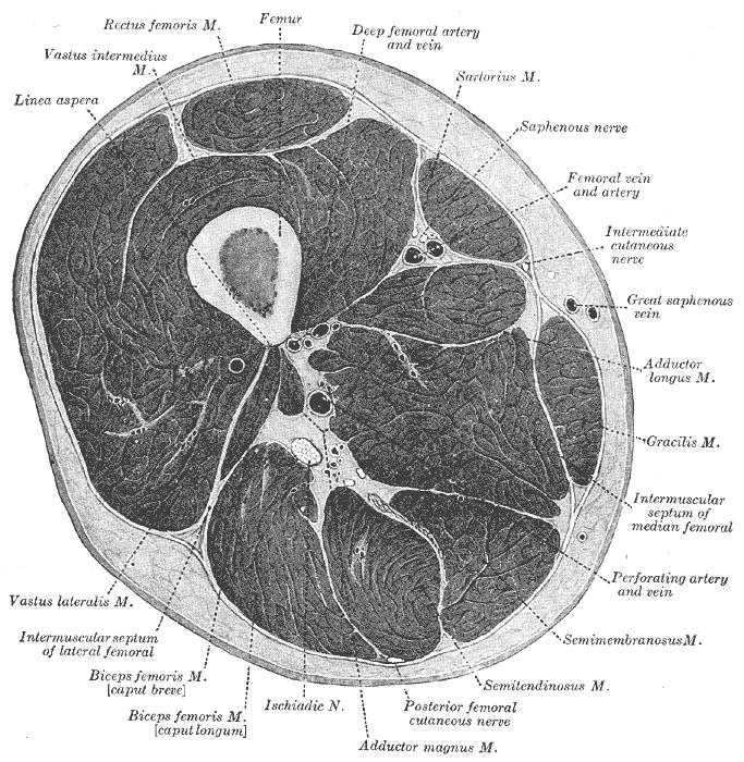 Oberschenkel – Wikipedia