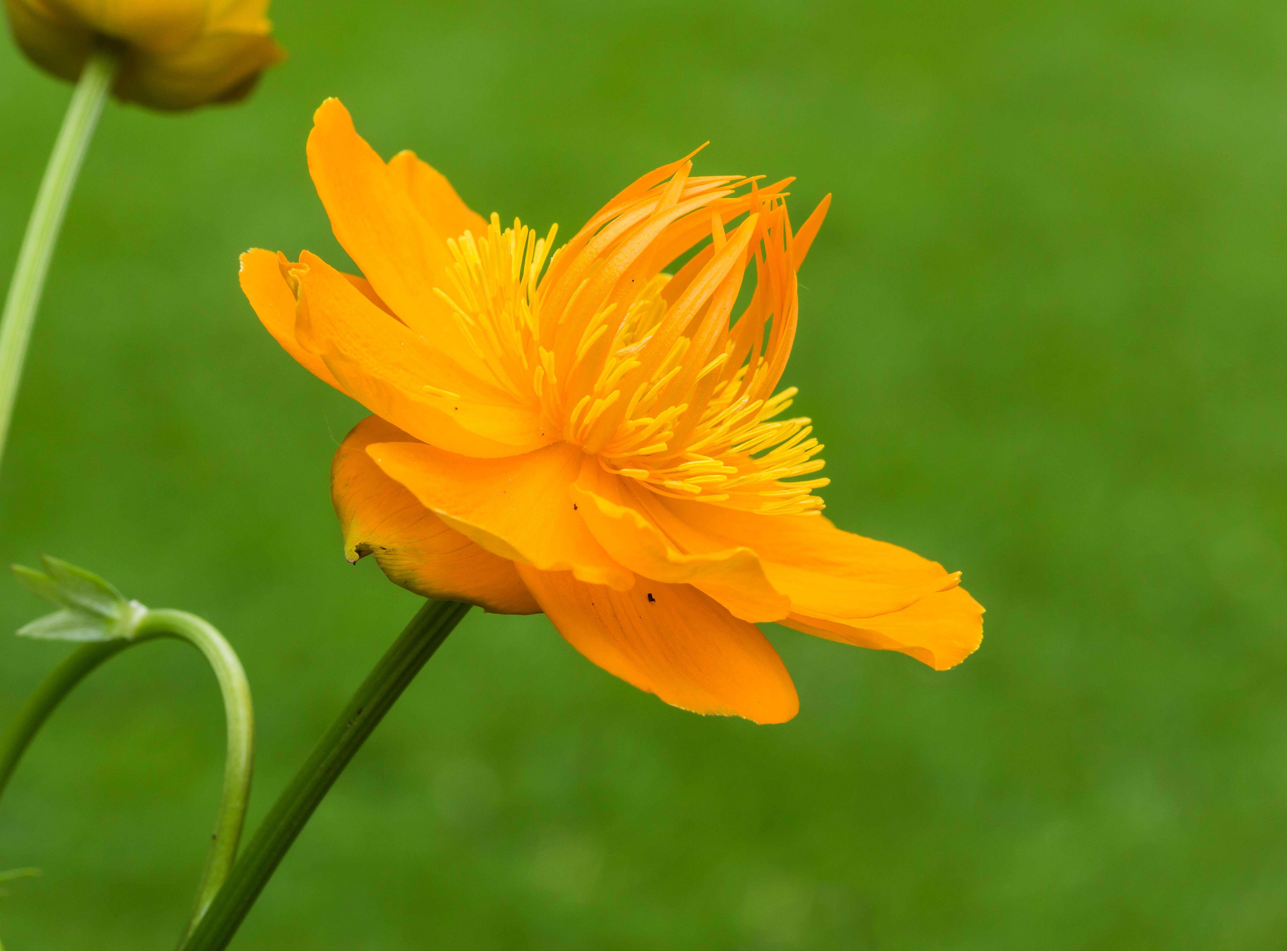 File:trollius chinensis golden queen opvallende bloem met warme