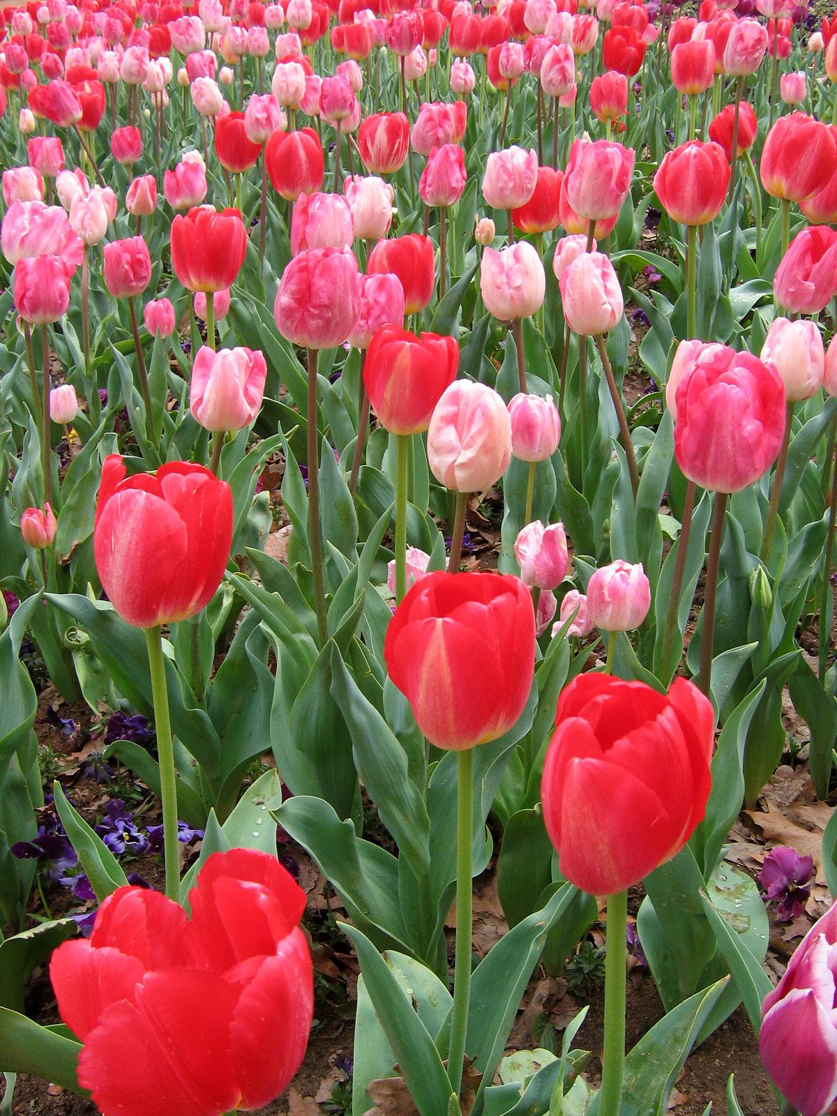 tulpen - Wiktionary
