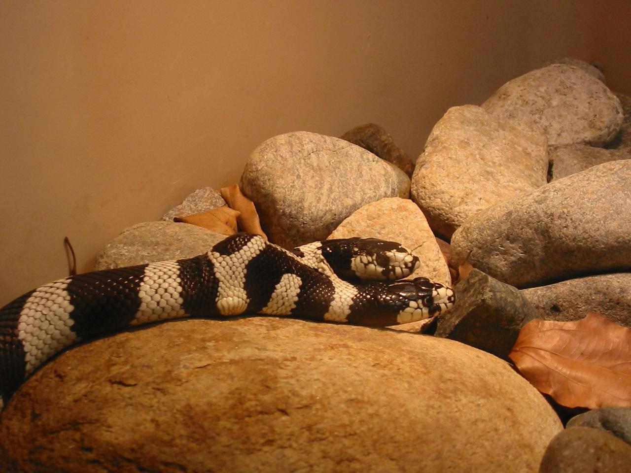 Two Headed Snake